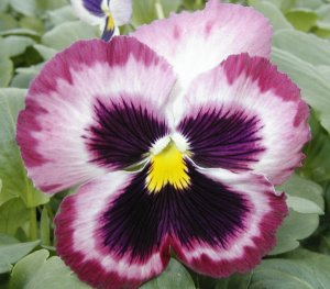 Pansy flower bloom
