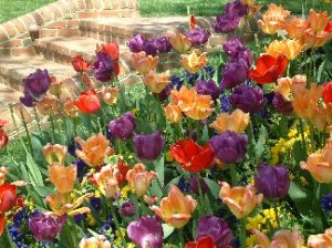 Colorful picture of a tulip garden