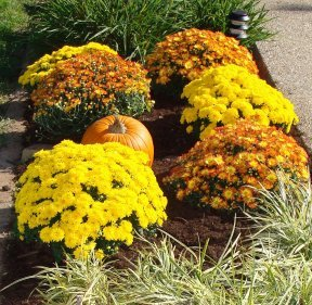 Mums and grasses in a landscape bed