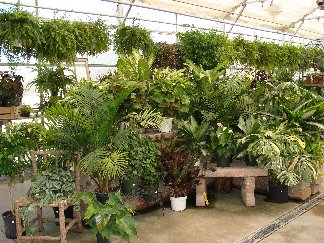 Large houseplant display in Hillermann's greenhouse
