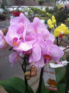 Orchids in Hillermann's Greenhouse