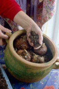 A group planting of amaryllis bulbs in a container.