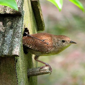Picture of a House Wren