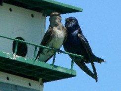 Purple Martins on birdhouse
