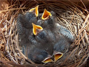 Baby bluebirds in their nest