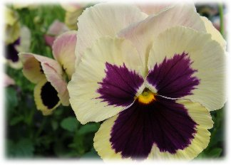 Cream colored pansy with purple accents