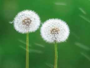 Dandilion plants in the seed globe form