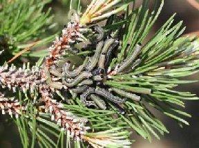 Pine Sawfly larvae