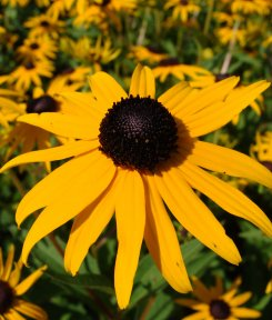 Bloom from Black Eyed Susan plant