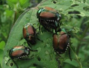 Japanese Beetles on a plant leaf