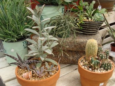 Cactus and succulent display at Hillermann Nursery & Florist