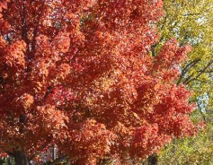 Trees with pretty fall color at Hillermann Nursery & Florist