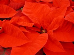A close-up picture of a poinsettia bloom (bracts)