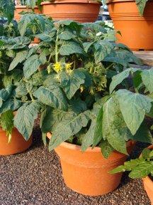TomatoPlantContSs