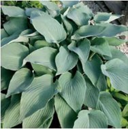 Hosta-Mad-About-Blue