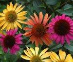 Echinacea_groupCSW