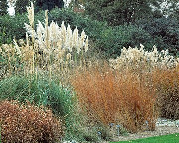 Beat the heat with extreme plants hillermann nursery for Tall thin ornamental grasses
