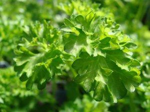 HerbParsleyS