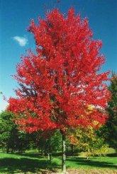maple-autumnblaze-sw