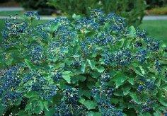 viburnum-bluemuffin16sw