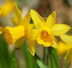 DaffodilsWaterDropsSWc