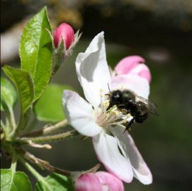 Bee-Apple-BlossomWsw