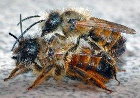 Bees-Mason-PairWsw