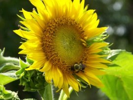 SunflowerBeeWsw