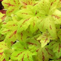 Heucherella-SunriseFalls