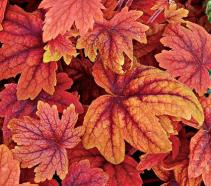 Heucherella-SweetTea