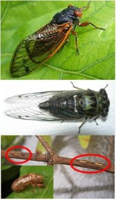 CicadaVariousShots-FL-HY