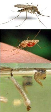 Mosquitoes_MLarvaeFL