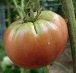 Tomato-GreenShouldersWc