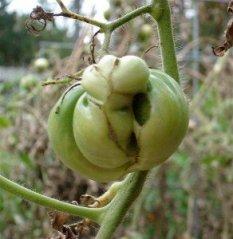 Tomato-MisshapedFruitW
