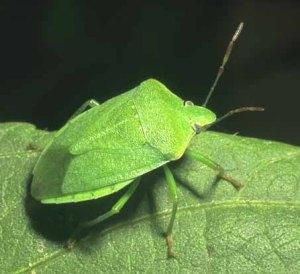 Stink-Bug-Green-W
