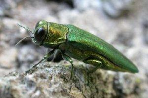 Emerald-Ash-Borer-Beetle-Wsw