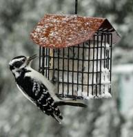 Bird-Woodpecker-SuetFeederB