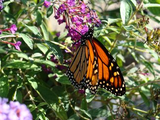 Monarch Butterfly on butterfly bush bloom at Hillermann Nursery and Florist