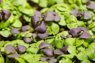 Microgreens Growing