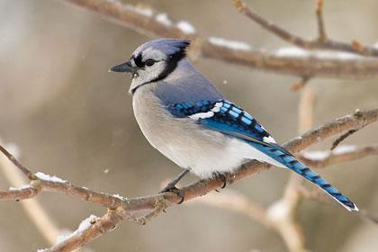 bird-bluejay-branch-sn-w