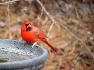 bird-cardinal_at_bath-s