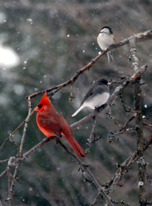 birds-snow-branch-w