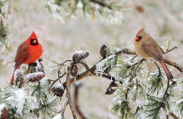 birds-cardinalswinterbranch-ws