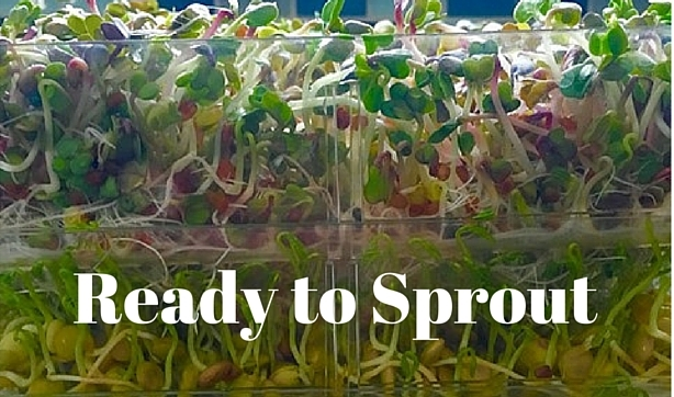 sproutsincleardish-bi