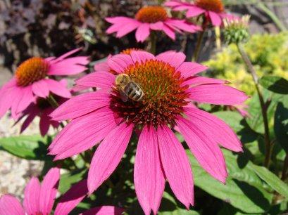 BeeOnConeflowerB-s