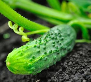 CucumberOnVineW