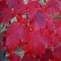 Sun Valley Maple tree leaves