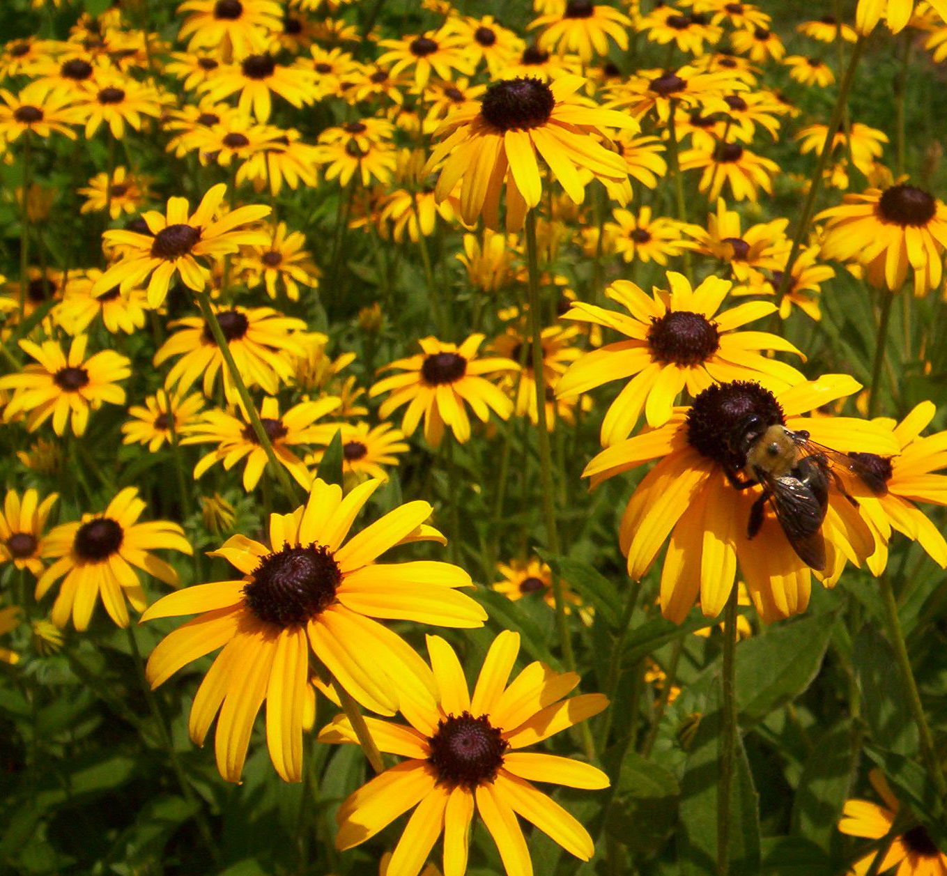 Black eyed susan rudbeckia hillermann nursery florist black eyed susan plants are valued as long blooming perennials putting out numerous flowers non stop for most of the summer and into early autumn mightylinksfo
