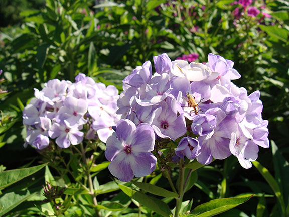 if after a few years your phlox plants fail to bloom as magnificently as they once did this may be a sign that they need to be divided as a general rule - Tall Garden Phlox