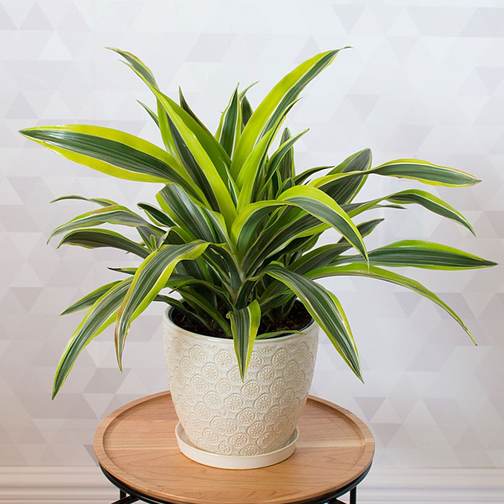 Lemon Lime Dracaena Houseplant | Hillermann Nursery & Florist